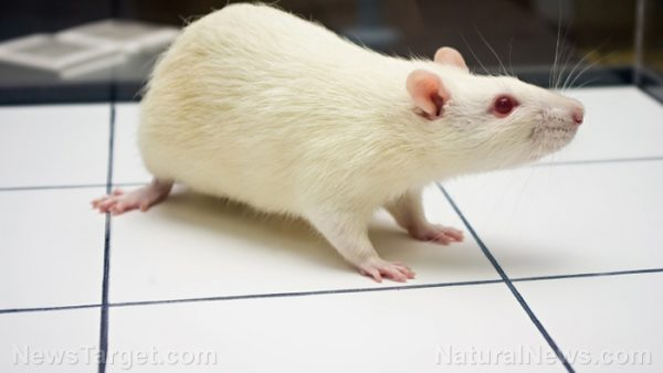 white rat disection lab report A rat dissection is a perfect use gloves and a lab coat take the appropriate safety steps when dealing with the dissecting tools and dispose of the rat.