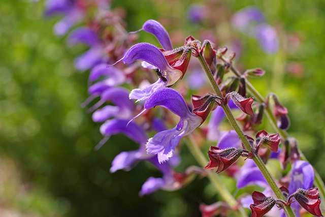 Image: Red sage, also known as Chinese sage, found to protect the kidneys of people with severe acute pancreatitis and obstructive jaundice