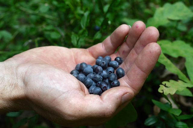 Image: Foraging wild edibles: Berry basics to help identify what's safe and what isn't