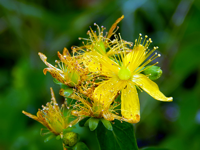 Image: St. John's wort: A scientific review of its remarkable antibacterial and antioxidant properties