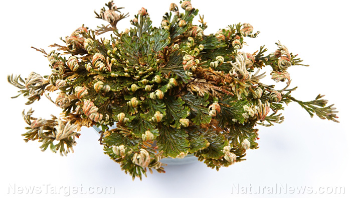 Image: Native people around the world have used a class of plants called bryophytes for a variety of medicinal remedies
