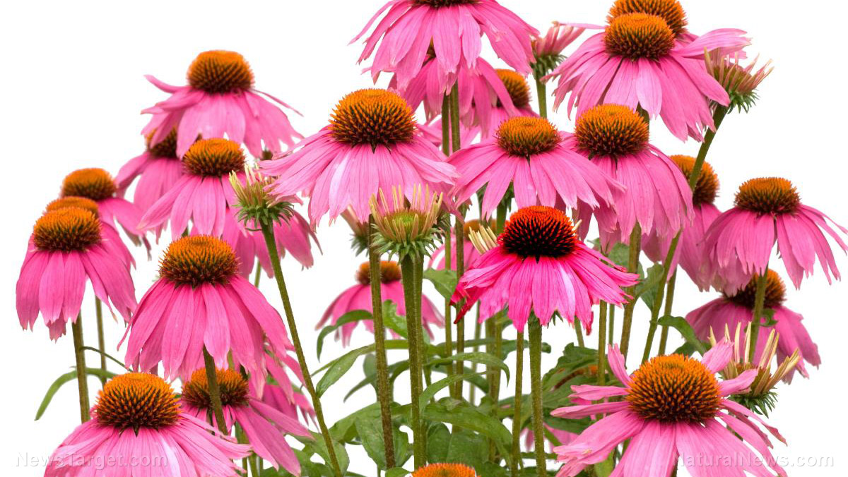 Image: South Korean researchers CONFIRM that echinacea protects you against stress-related diseases