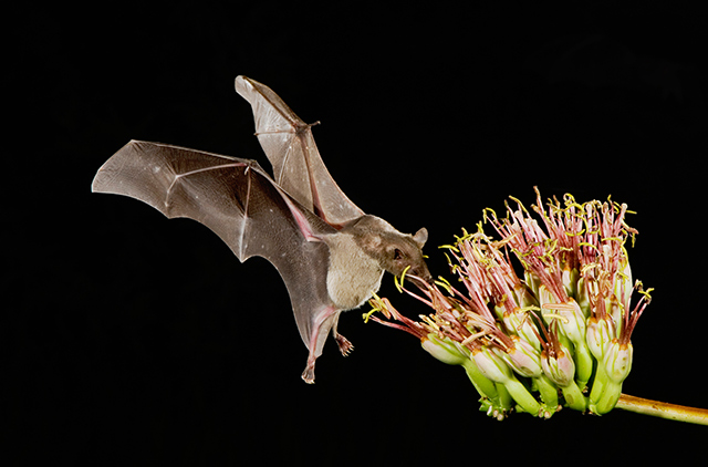Image: The U.S. Fish and Wildlife Service announces first bat to be removed from the endangered species list