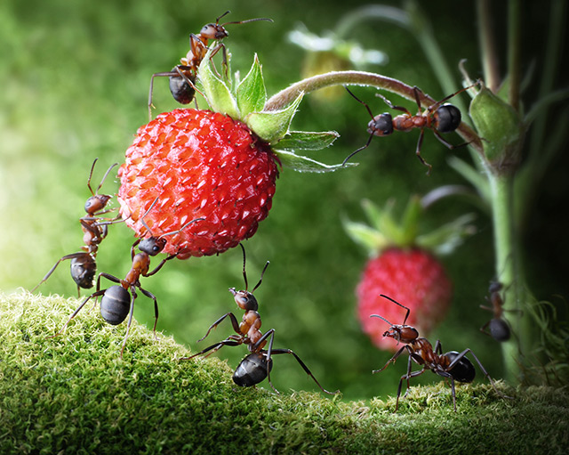Image: Mathematical model shows how ants behave when faced with an obstacle