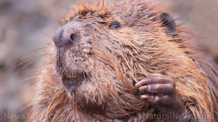 Image: Why beavers could be the key to negating the effects of environmental pollution