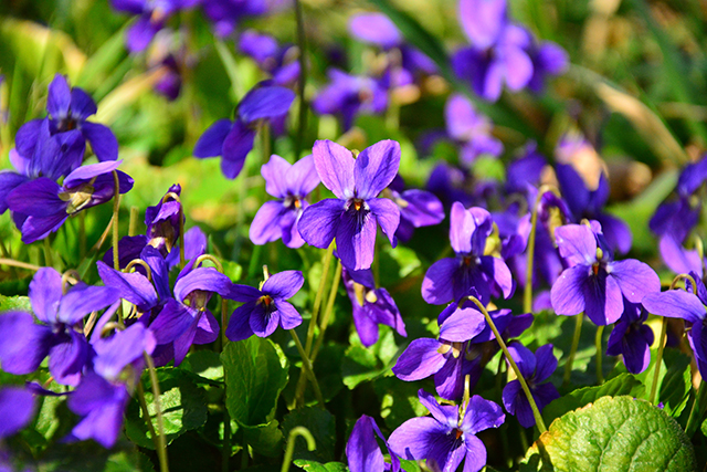 Image: Wild violets are useful plants that can help the smart prepper survive