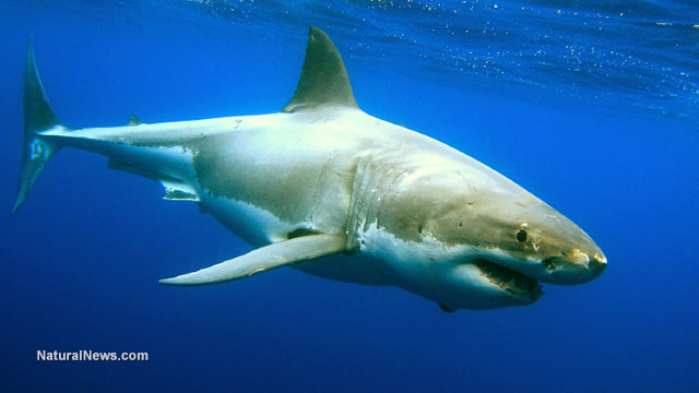 Image: NIH-funded study looks at how sharks have evolved to use electric fields to locate prey