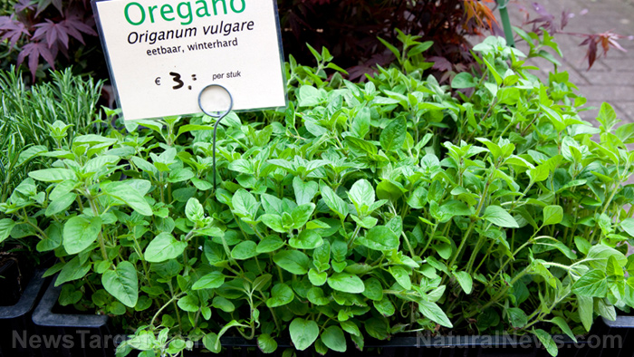 Image: Oil of oregano kills pathogens safely and effectively