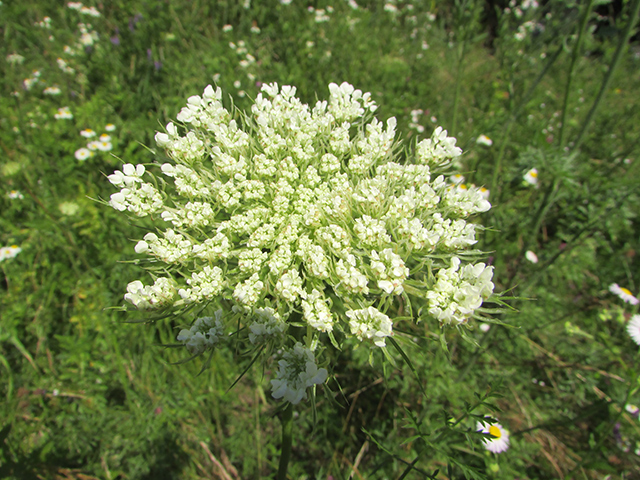 Image: Study documents the remarkable antitumor activity of the wild carrot