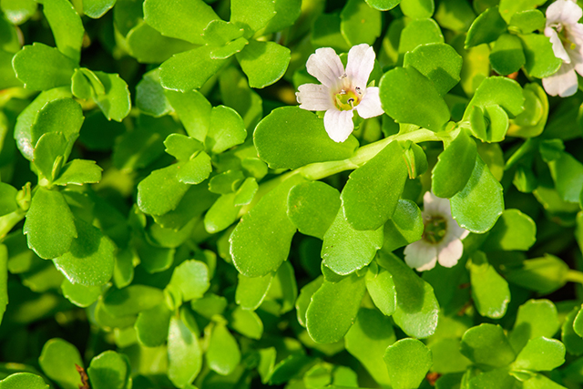 Image: Reduce nerve pain with the waterhyssop medicinal herb (bacopa)