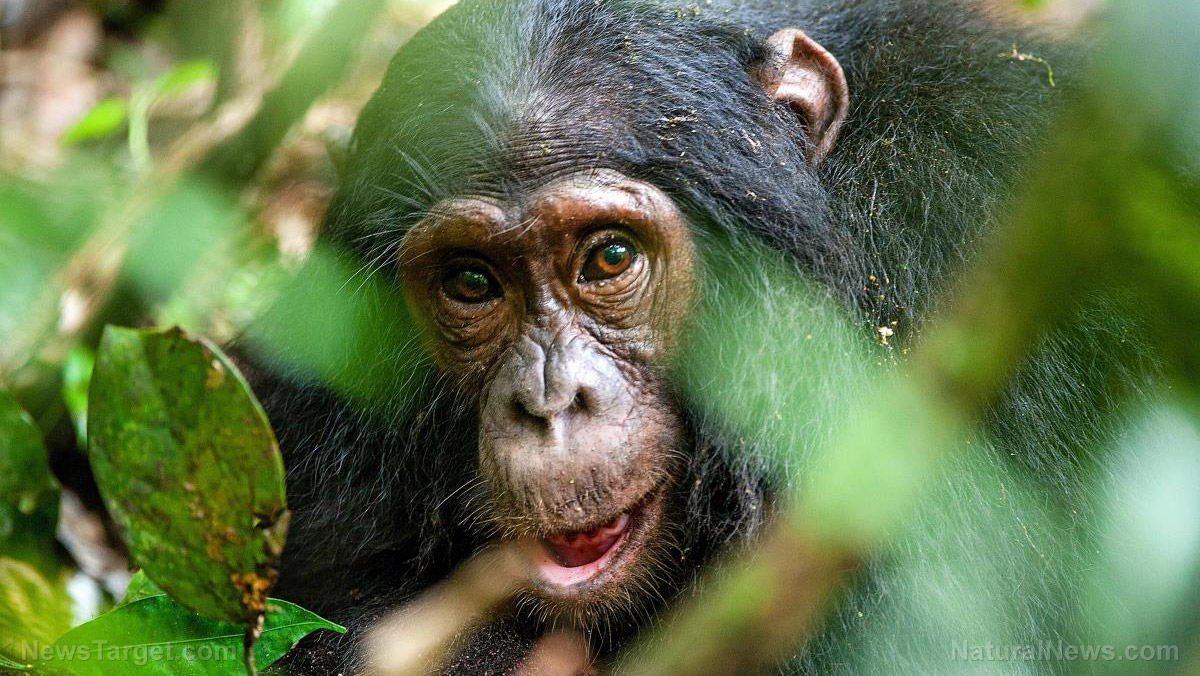 Image: Chimp mothers teach their offspring to use moss as drinking sponge in latest example of intelligent, conscious lives of primates