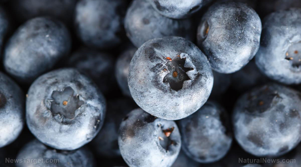 Image: Using the highbush blueberry to treat bacterial infections