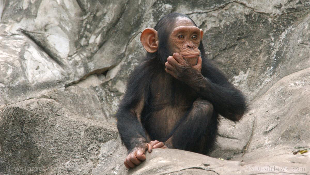 Image: Chimpanzees found to accumulate and transfer cultural knowledge from one generation to the next