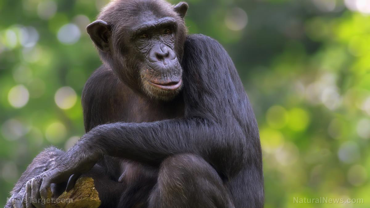 Image: Chimpanzees observed by scientists are changing their hunting behavior because they know they're being watched