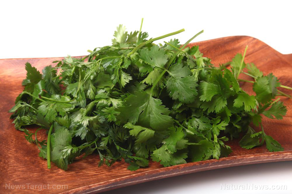 Image: Bright green coriander contains an array of medicinal oils with proven health benefits