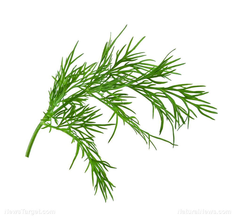 Image: You should eat more dill – its uses range from treating digestive disorders to strengthening the immune system