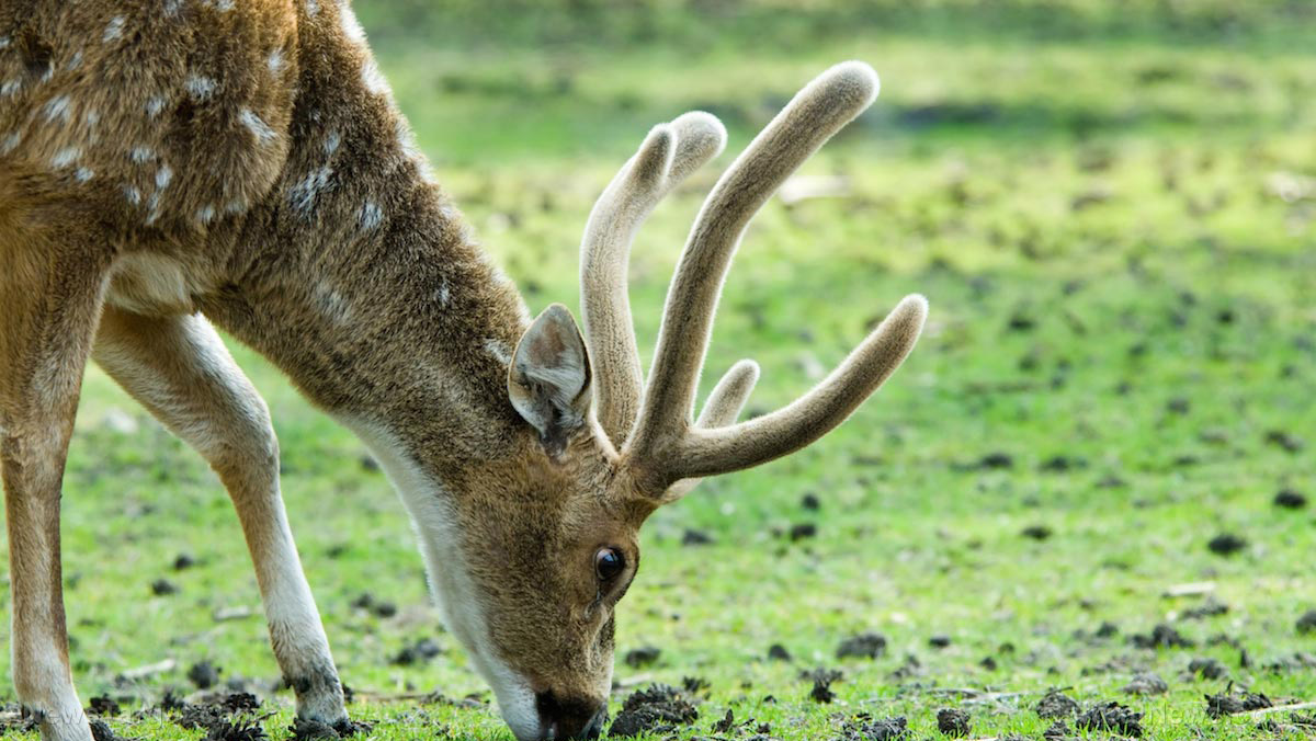 Image: Velvet antler may prevent acute lung injury