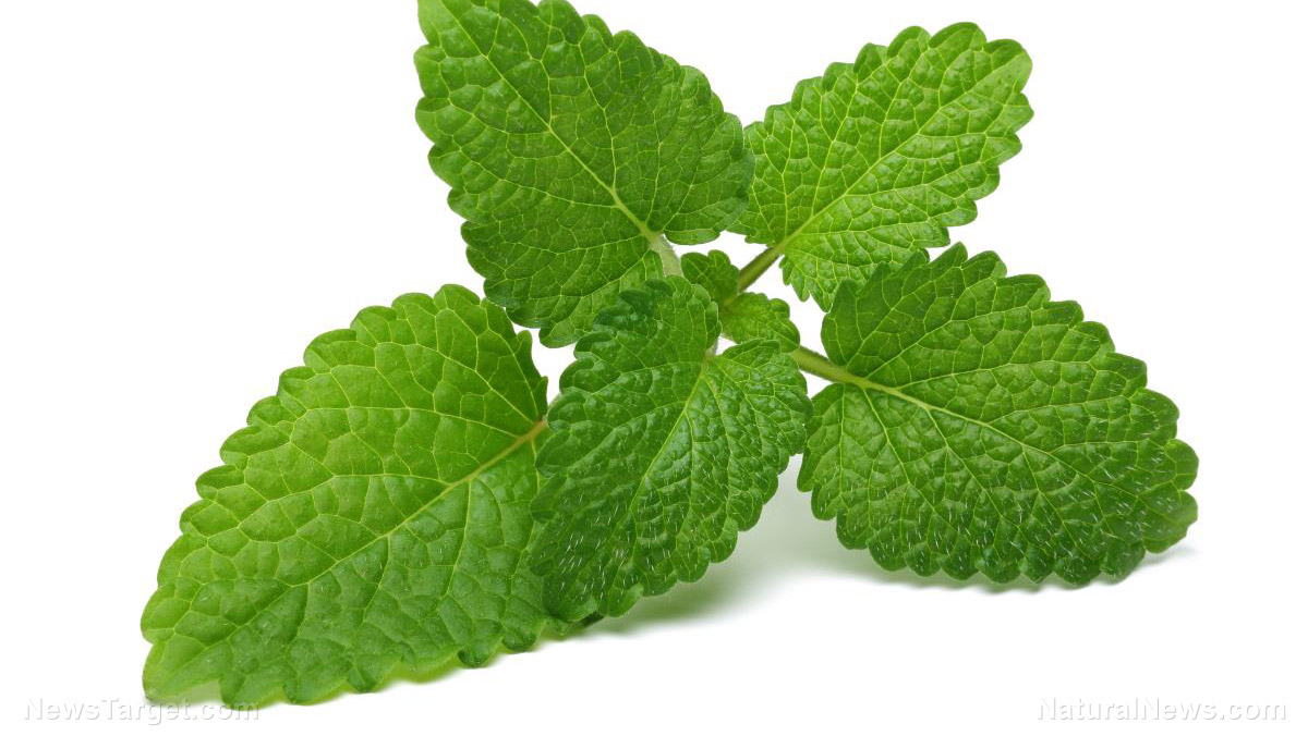 Image: Scientific study reveals Mexican mint essential oil can treat antibiotic-resistant bacteria