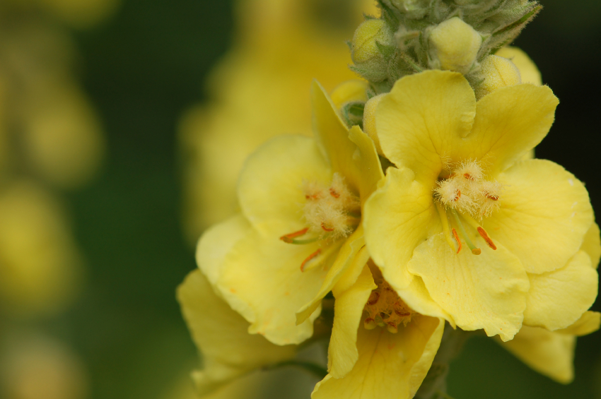 Image: 8 Medicinal uses of mullein that can help you in a survival situation