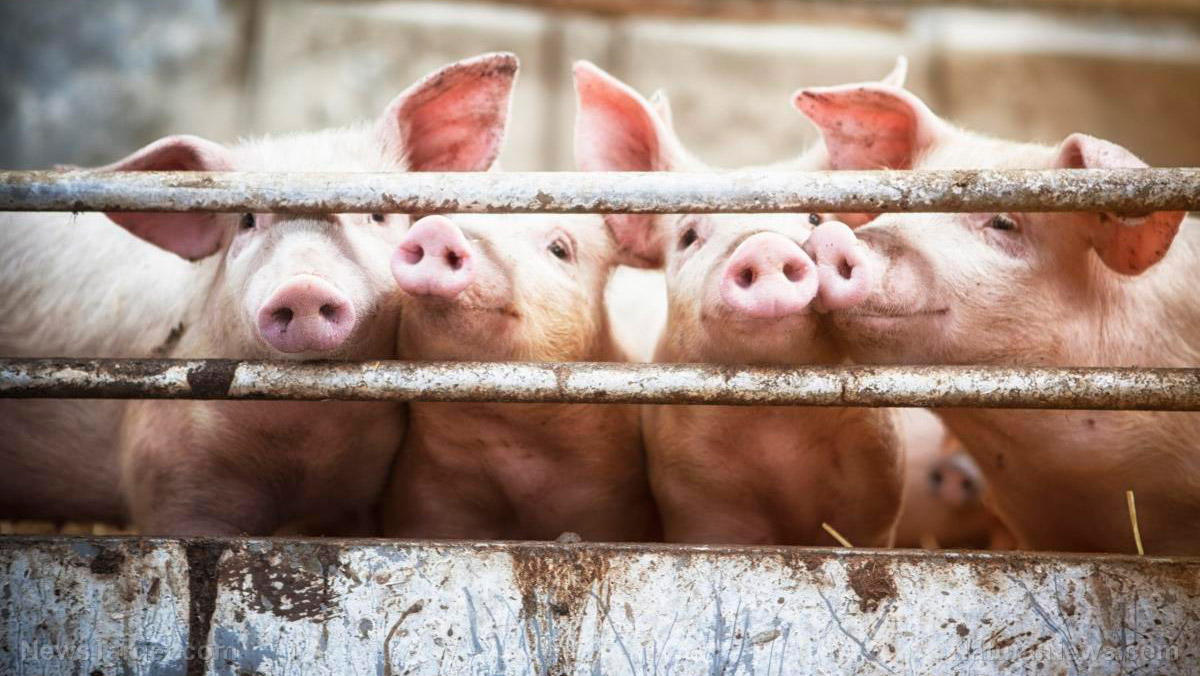 Image: HORROR FARMS: Genetically altered pigs to be grown and harvested for human organ transplants