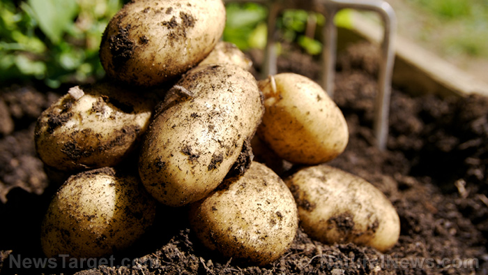 Image: Rewrite HISTORY? Scientists discover that potatoes were likely domesticated in North America almost 11,000 years ago