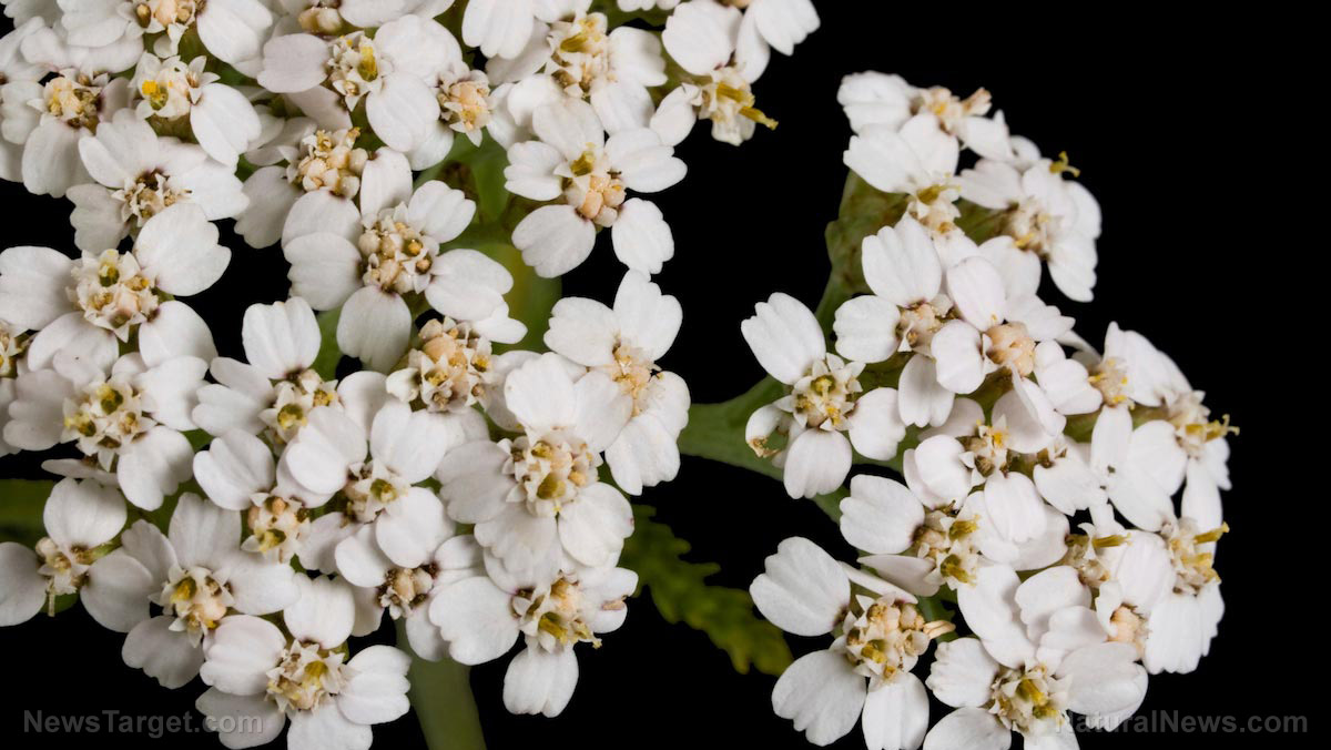 Image: Your SHTF medicinal herb kit should contain yarrow