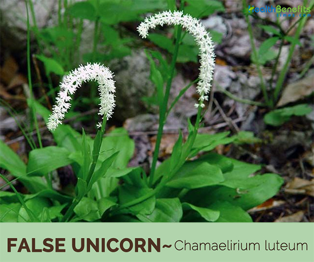 Image: The unicorn plant, Helonias Dioica, is an excellent remedy for female reproductive problems