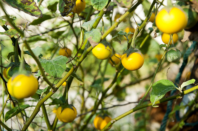 Image: The humble sodaapple nightshade  could be a great alternative cancer remedy