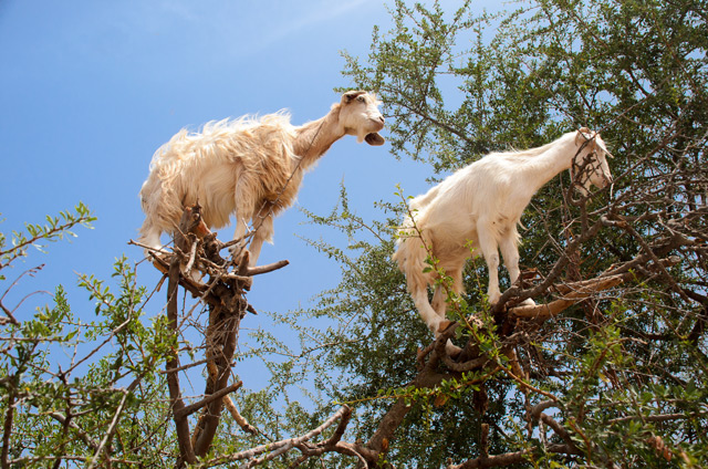 Image: Tree-climbing goats help sow new forests by SPITTING out the seeds, scientific study shows