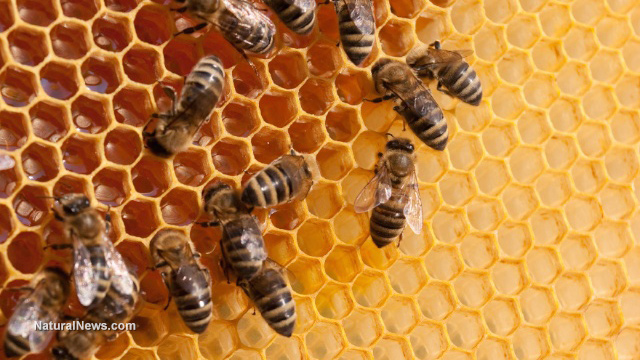 "Image: Unable to develop a new antibiotic drug for decades, new research ""discovers"" potential in a compound from honeybees, ignoring the fact that natural medicine has used bee pollen for years"