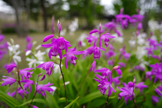 Image: The Chinese ground orchid discovered to be a powerful antibiotic