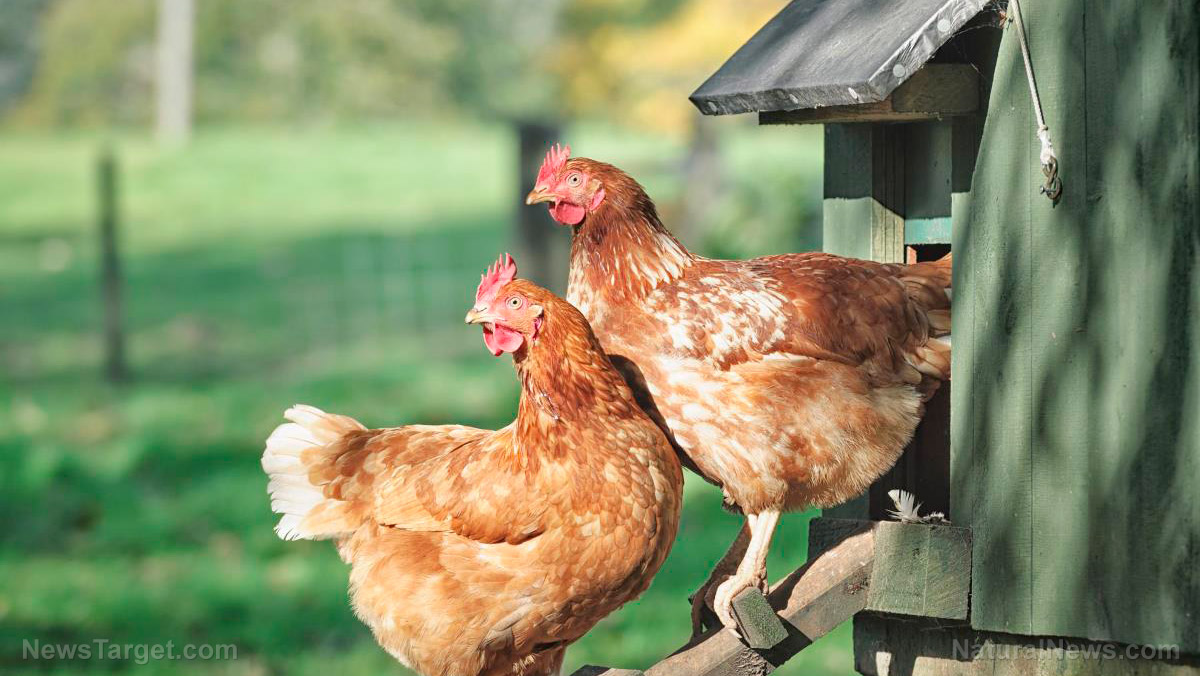 Image: Choose what's best for you: Types of backyard chicken coops for different climates and budgets