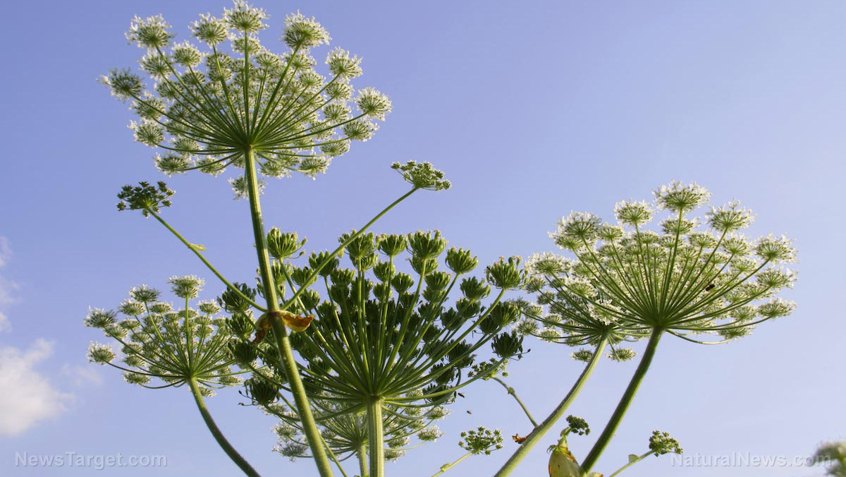 Image: How to identify the Giant Hogweed and protect yourself from its poisonous sap