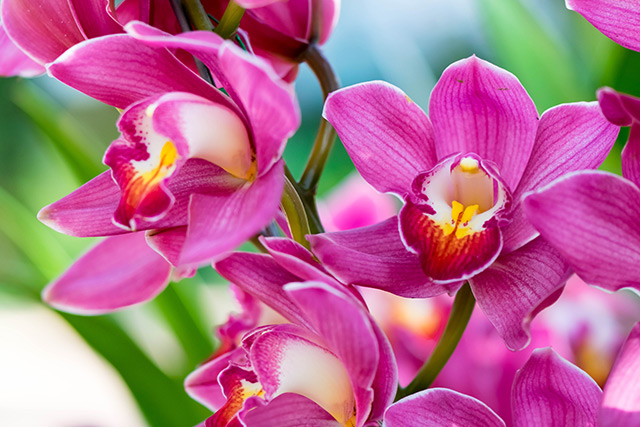 Image: Orchid tree seeds found to have antioxidant properties that protect against liver damage