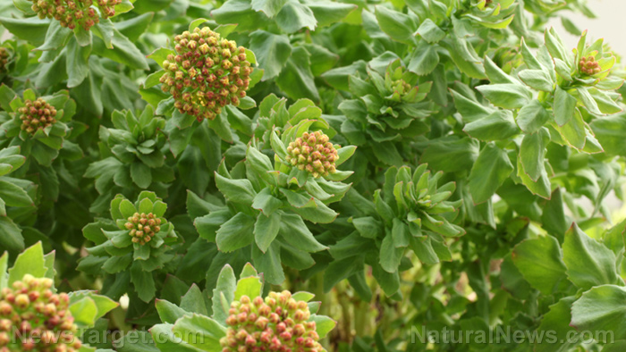 Image: Rhodiola found to be an effective herbal medicine for treating fatigue and weakness