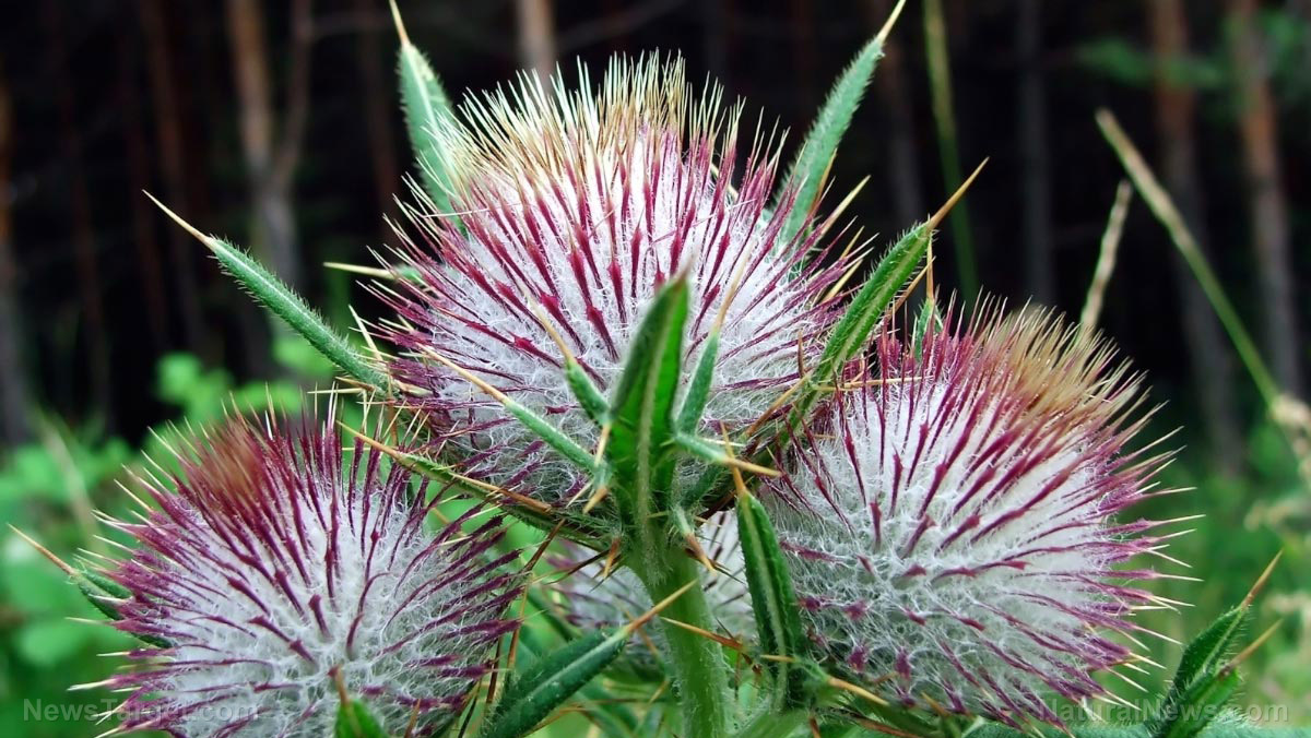 Image: Milk thistle shows promise in treating liver cancer