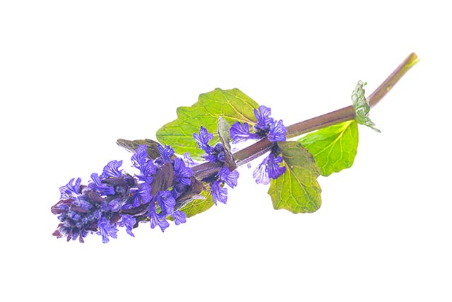 Image: A member of the mint family, the bugleweed is a powerful medicinal herb you should be stocking up on