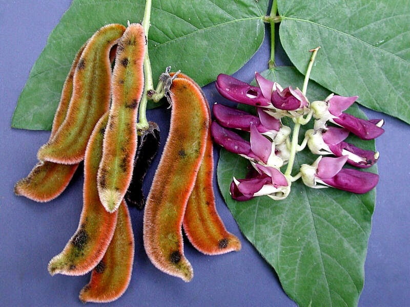 Image: Experimental study finds the velvet bean to be a promising natural treatment for depression