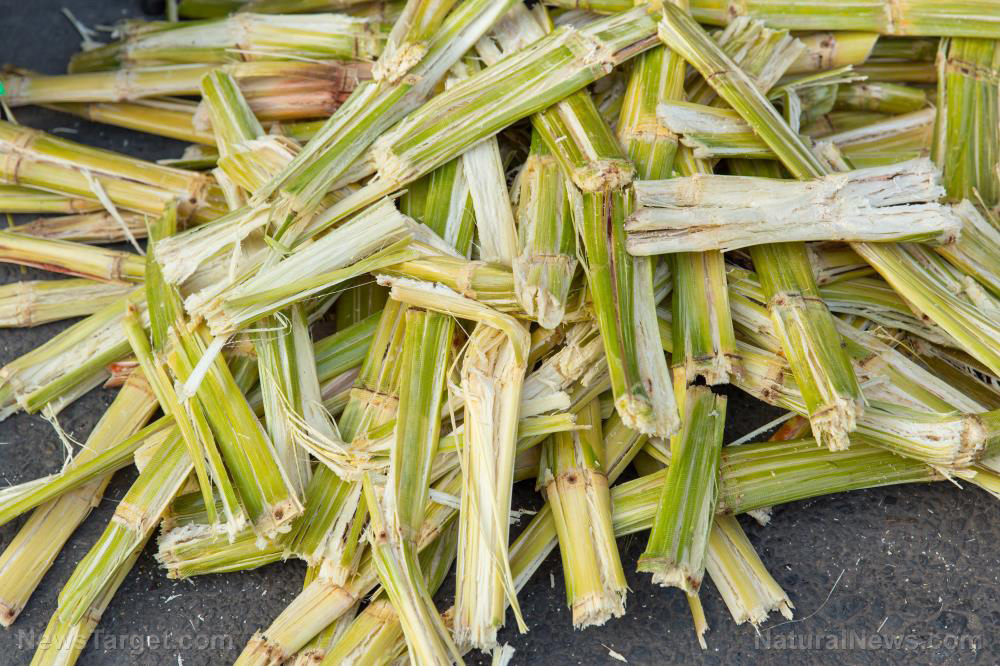 Image: Study: Marine algae thrive when given sugarcane bagasse