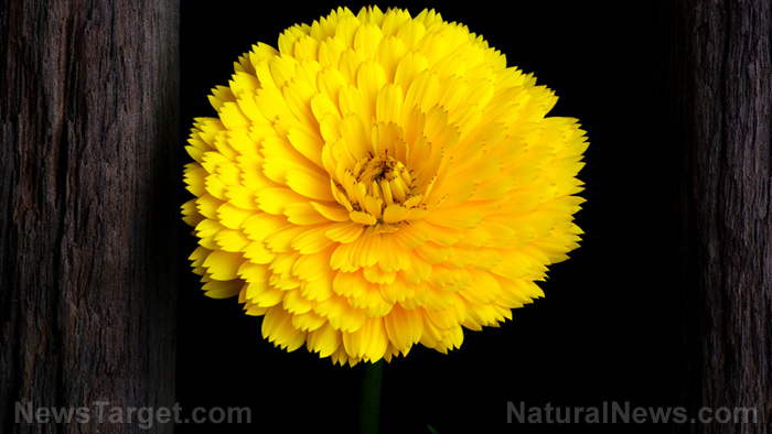 Image: Make your own calendula extract: Step by step instructions for this multipurpose medicine