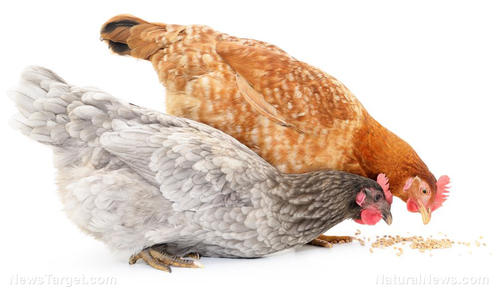 Image: For the organic farmer: Chickens fed a low-protein diet with balanced amino acids are healthier