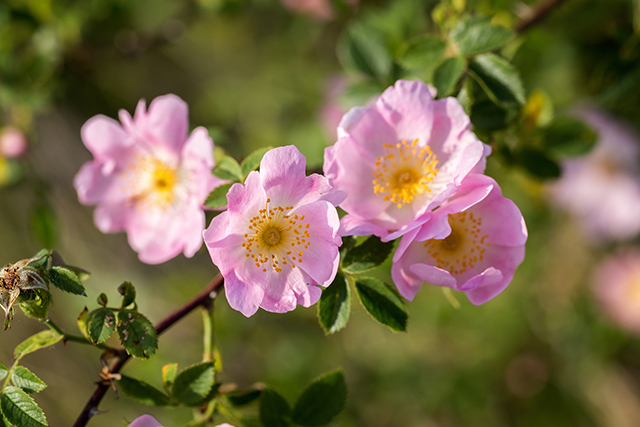 Image: A species of wild climbing rose found to be effective alternative treatment for diabetes; it inhibits the conversion of starch to sugar