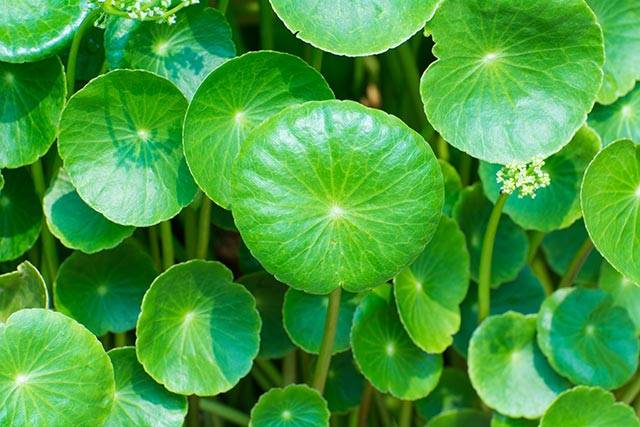 Image: Gotu kola, an important oriental medicinal herb, helps cancer patients stay strong