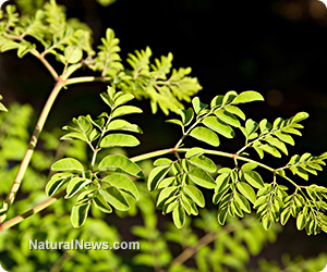 Certain Sudanese medicinal plants can remove heavy metals from water