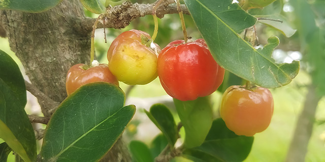 Image: Nature's pharmacy: Use the South American Surinam cherry to disinfect wounds and relieve swelling