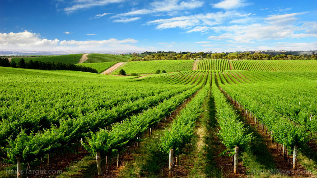 Image: Study finds vineyards are still at risk 12 years after measuring high levels of copper in the soil