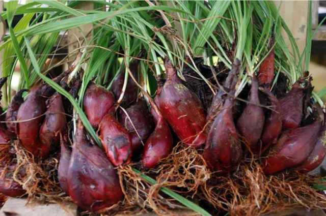 Image: Dayak onions can help menopausal women maintain proper reproductive health