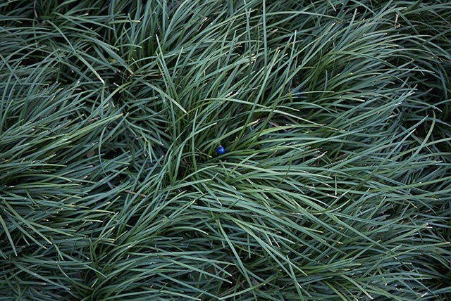 Image: Grown mostly as an ornamental plant, dwarf lilyturf shows powerful anti-inflammatory properties