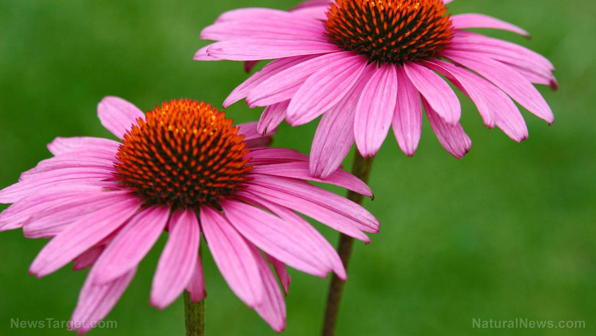 Image: Take echinacea at the first signs of the flu