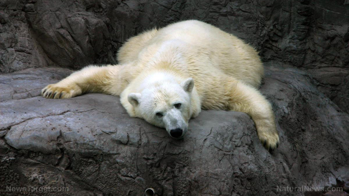 "Image: National Geographic finally comes clean: Super viral video of polar bear ""starving from climate change"" was totally fake news"